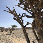 Kadidlovník, ze kterého se sbírá vonná pryskyřice známá jako kadidlo. Právě díky němu je ománské město Salalah známé.